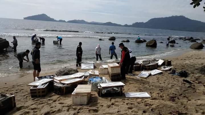 Benih Lobster Ditebar Di Pantai Nagari Sungai Pinang