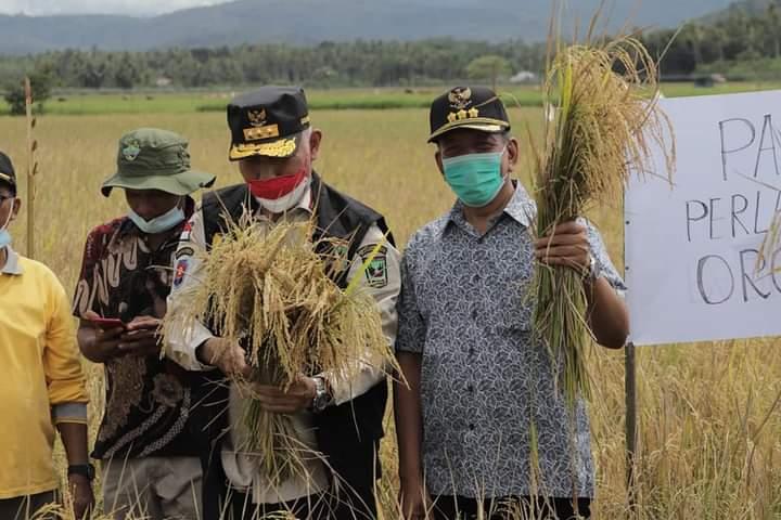 Gubernur Dan Bupati Lakukan Panen Padi Organik Di Nagari Padang XI Punggasan