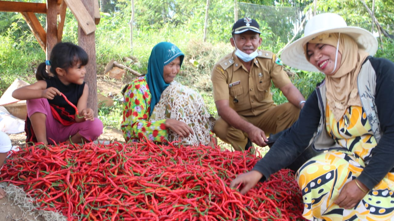 Masyarakat Nagari Taluak Tigo Sakato Tanami Cabe Tingkatkan Pendapatan Ekonomi Keluarga